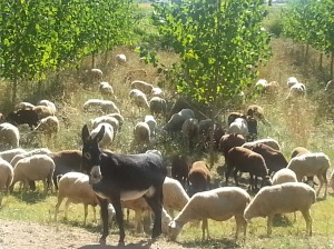 Goats, sheep and donkeys on the road