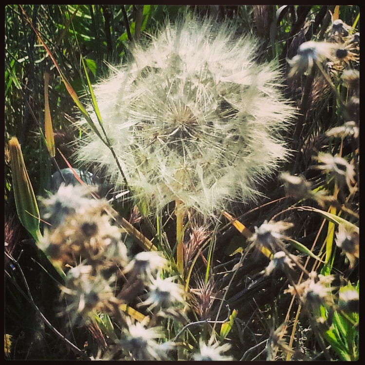 One small dandelion