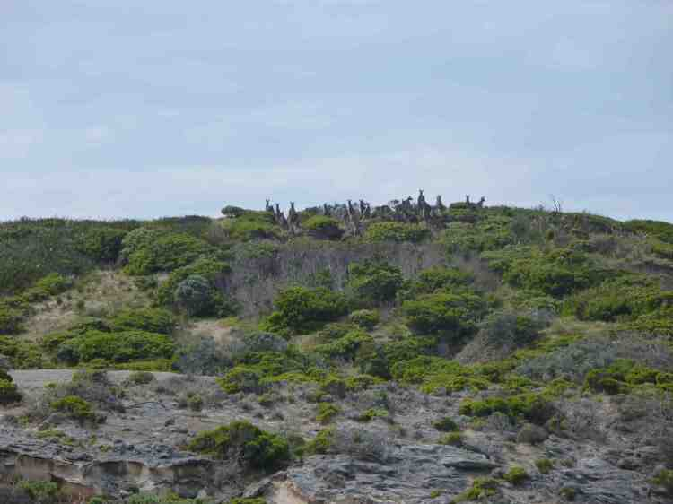 A mob of kangaroo on the ridge