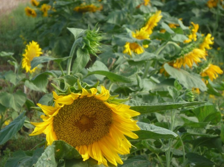 Early in themorning I was greeted by sunflowers inn the fields